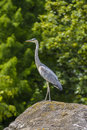 Great blue heron bird on a rock at zoo the ardea herodias is a large wading bird in the family ardeidae Royalty Free Stock Photos