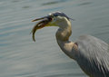 Great blue heron bird side portrait of with fish in beak or bill Royalty Free Stock Photography