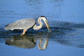 Great blue heron bird side view of reflecting on water Royalty Free Stock Image