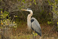 Great Blue Heron in Breeding Plumage Stock Photography