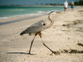 Great Blue Heron on Captiva Florida Beach Royalty Free Stock Image