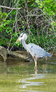 Great blue heron catching a fish flying on the beach in florida Royalty Free Stock Photo