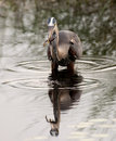 Great blue heron catching tadpole Stock Image