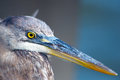 Great Blue Heron Close Up Royalty Free Stock Photography