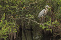 Great blue heron in everglades national park florida usa Royalty Free Stock Photography