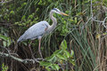 Great blue heron in everglades national park florida usa Royalty Free Stock Photos