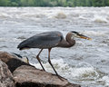 Great Blue Heron with Fish in Beak Royalty Free Stock Photos