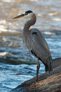 Great Blue Heron Fishing Royalty Free Stock Photos