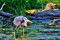 Great Blue Heron Fishing in High Dynamic Range hdr Royalty Free Stock Photo