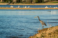 Great Blue heron fishing on lakeside Royalty Free Stock Photo