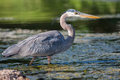 Great blue heron fishing in the low lake waters Stock Photography