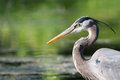 Great blue heron fishing in the low lake waters Stock Image