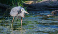 Great blue heron fishing in the low lake waters Stock Images