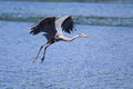 Great blue heron fishing in a pond Stock Image