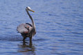 Great blue heron fishing in a pond Royalty Free Stock Image