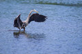 Great blue heron fishing in a pond Stock Photos