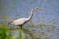 Great blue heron fishing in a pond Royalty Free Stock Photo