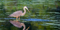 Great blue heron fishing in a pond Stock Photo
