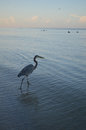Great Blue Heron Fishing in Shallow Waters Royalty Free Stock Photo