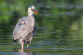 Great Blue Heron Fishing in soft focus Royalty Free Stock Photo