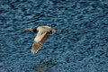 Great Blue Heron in Flight Royalty Free Stock Photo