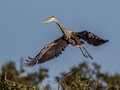 Great blue heron in flight Royalty Free Stock Photo