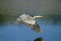 Great blue heron in flight with extended wings flying over a lake Stock Image