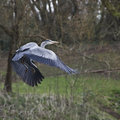 Great blue heron in flight landing a woody area with wings extended Royalty Free Stock Photography
