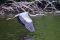 Great blue heron in flight over lake Royalty Free Stock Image