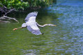 Great blue heron in flight over lake Royalty Free Stock Photo