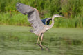 Great blue heron in flight over lake Stock Photos