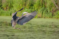 Great blue heron in flight over lake Royalty Free Stock Photography