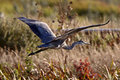 Great Blue Heron flying Stock Photography
