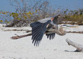 Great Blue Heron flying on a beach Royalty Free Stock Photo