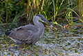 Great blue heron with frog in beak Royalty Free Stock Photo