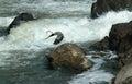 Great Blue Heron at Great Falls, Maryland Royalty Free Stock Photo
