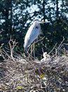 Great Blue Heron Guarding Hatchlings Stock Image