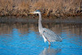 Great blue heron hunting in the marsh Royalty Free Stock Photo