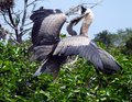 Great blue heron juveniles ardea herodias herons in a nest on top of a tree with wings outstretched profile Stock Photography