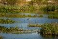 Great Blue Heron landing on rock Royalty Free Stock Photo