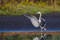 Great Blue Heron Landing in Shallow Water Royalty Free Stock Photo