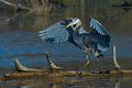 Great Blue Heron lifts wings at sunset Royalty Free Stock Photo