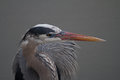 Great blue heron looks right in profile during dusk Royalty Free Stock Photo