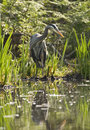Great Blue Heron In Marsh Royalty Free Stock Photos