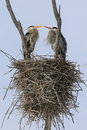 Great blue heron nesting pair a mating of herons stand in their nest Stock Photo