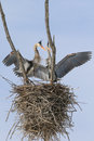 Great blue heron nesting pair a mating of herons stand in their nest Stock Photography