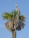 Great Blue Heron On A Palm Tree