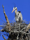 Great blue heron peering down from it s nest a in the dead tree Royalty Free Stock Photo