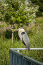 Great blue heron perched on metal handrail a perches a with green foliage in the background Royalty Free Stock Photography