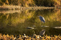 Great blue heron photo of a as it hunts motionless for fish taken on the scenic maumee river in northwest ohio Stock Images